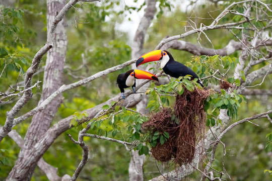 Two Toco Toucans sitting over brown birds nests in a tree, facing each other, Pantanal Wetlands, Mato Grosso, Brazil