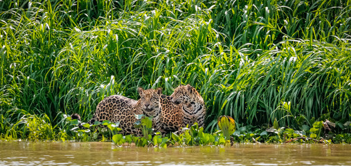 Two Jaguar brothers standing on a river edge against green background, looking, frontal view, Pantanal Wetlands, Mato Grosso, Brazil