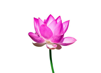 Garden Poster Lotus flower Beautiful pink lotus flower isolate on white background.