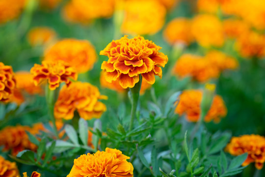 Orange Marigold flowers or Tagetes erecta in the garden