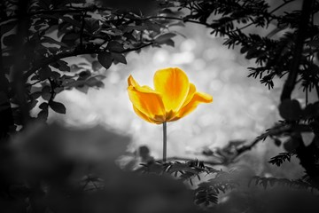 Yellow tulip soul in black white for peace heal hope. The flower is symbol for power of life and mind strength beyond grief death and sorrows. Also symbolizes healing of stress or burnout