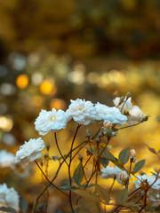White roses on yellow bokeh background
