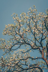 Flowering tree against the blue sky