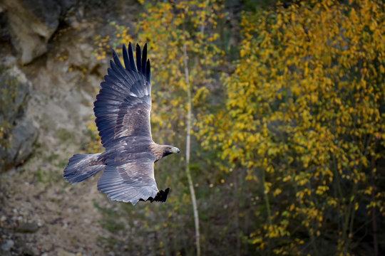 Eagle in flight in autumn scenery, Aquila chrysaetos.