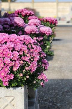 chrysanthème 1er novembre