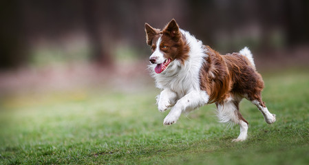 Zelfklevend Fotobehang Hond Adult brown white border collie run very fast in training day. Happy dog jump side view.