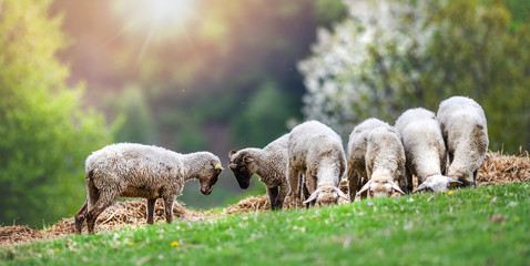 Sheeps group and lambs on a meadow with green grass. Flock of sheep in sun rays spring background. Fotoväggar