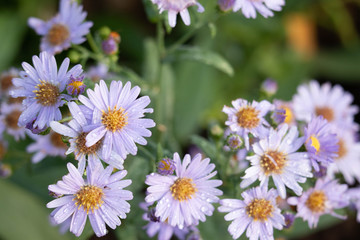 Purple flowers have water droplets on the petals in the morning after rain with a green background.