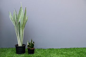 Wall Mural - Sansevieria or snake plant in flower pot with copy space