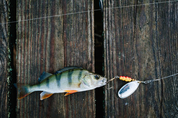 fish, spoon. perch on hooks. on a brown wooden background. fishing bait. close up