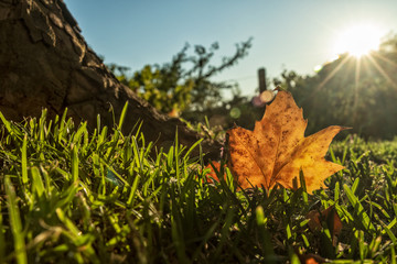 Fallen dry leaf on grass field with sunset. Image alluding to autumn.