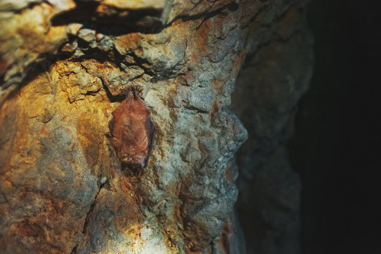A brown bat hangs upside down in a cave. Night predators in the wild