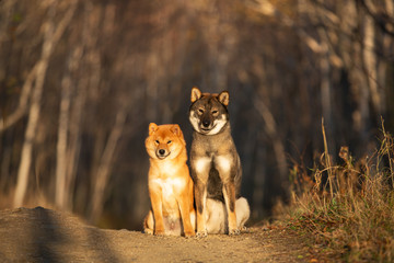 Cute and happy red shiba inu dog and shikoku dog sitting in the forest at sunset in fall