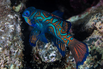 Wall Mural - A male mandarinfish, Synchiropus splendidus, searches for a mate at dusk on a rocky reef in the Banda Sea. These fish spawn ever single evening.
