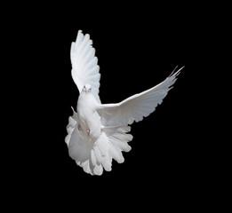 Fototapete - White dove on black background