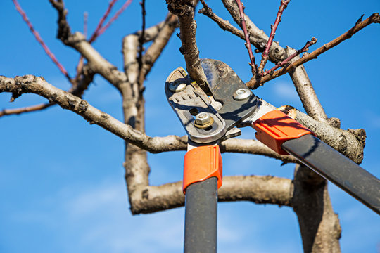 Pruning fruit tree with pruning shears