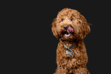 Red cockerpoo poses on grey background