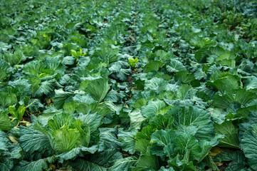 Collard green field close up