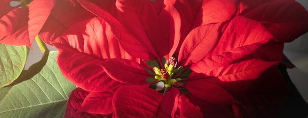 Christmas fresh red poinsettia macro background, banner
