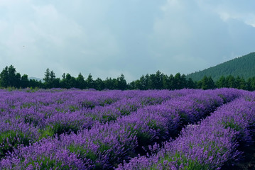 lavender field panorama landscape
