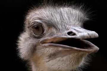 Poster Struisvogel Closeup shot of an ostrich head with an open beak gazing at the camera on a black background