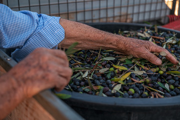 TORRE SANTA SUSANNA, ITALY / OCTOBER 2019: The harvesting of olives for the seasonal production of extravirgin olive oil in Puglia region