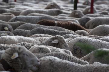 Wall Mural - Rebaño de ovejas en la ciudad de Madrid