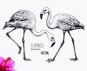 Flamingo vector illustration. Ink pen drawing. Line art design, engraving style. Hand drawn picture. Isolated black figures. Sketch artwork