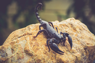 A black scorpion in nature wildlife live stone on big stone at forest.