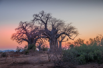 African sunset landscape with silhouetted baobab trees image in horizontal format with copy space