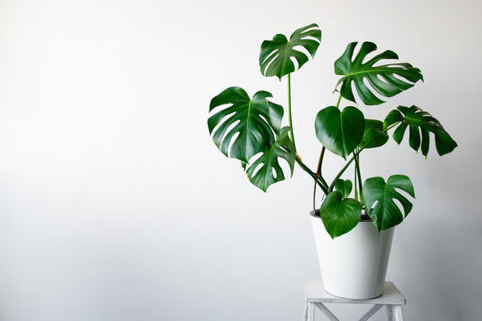 A beautiful Monstera flower in a white pot stands on a white wooden pedestal stand on a white background. The concept of minimalism. Hipster scandinavian style room interior. Empty white wall and copy