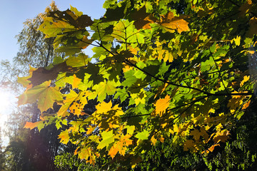 Large tree branch with yellow and green maple leaves, autumn