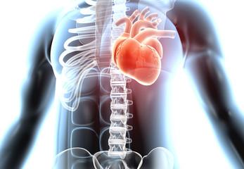 Heart in human body. 3d rendering .