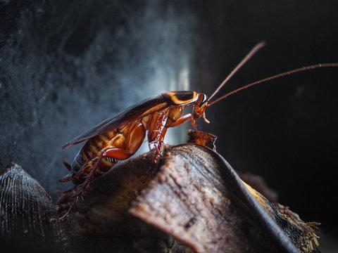 Cockroach crawling on banana peel