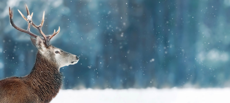 Noble deer male in winter snow forest. Winter christmas banner. Free space for text.