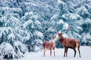 Beautiful Deer male  with big horns and deer female in the winter snowy forest. Christmas wonderland.