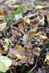 haymaker mushrooms with autumn leaves on log for natural compost