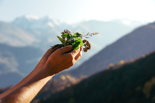 Hands on a background of mountains hold healing and aromatic herbs.