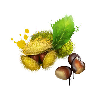 American Chestnuts with leaves and spiny burrs. Chestnuts are edible raw or roasted. Considered the finest chestnut tree in the world. Fruits of the world collection. Digital art illustration.