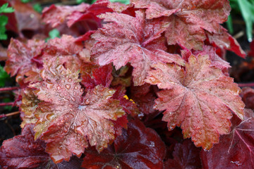 Aluminium Prints Crimson Bright leaves of a heuchera in red tones are covered with water drops after a rain.