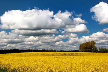Yellow rape field, beautiful rural landscape