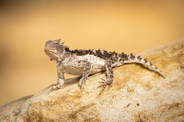 Dangerously looking lizard, focused, standing on a stone on a sunny warm day. Exotic animal, warm environment. Wall mural