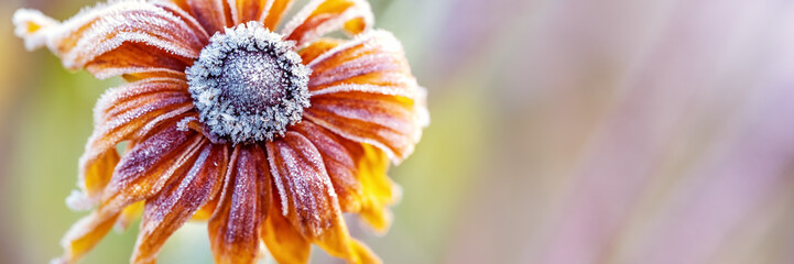 Photo sur Aluminium Taupe Hoarfrost on Rudbeckia, Autumn Background