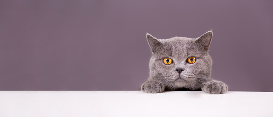 beautiful funny grey British cat peeking out from behind a white table with copy space