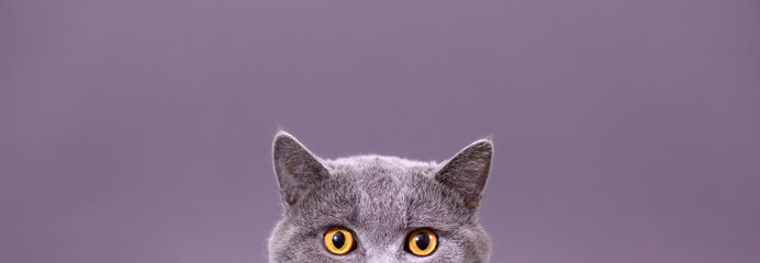Spoed Fotobehang Kat beautiful funny grey British cat peeking out from behind a white table with copy space