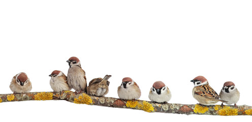 Wall Mural - many small funny birds sparrows are sitting on a branch on a white isolated background