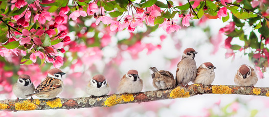 Wall Mural - natural panoramic background with many small funny birds sparrows sitting in the spring Sunny Park under the branches of a flowering Apple tree with pink buds
