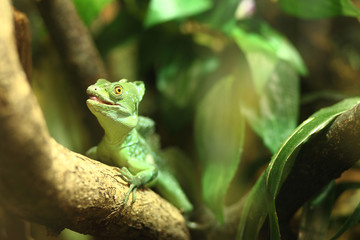 little green iguana sits on a branch