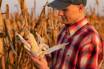 Portrait of young farmer or agronomist standing in corn field examining crop before harvest at sunset. - Image
