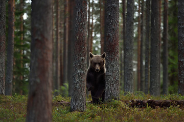 Brown bear in forest between the trees
